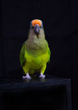 Peach Fronted Conure Stock Photos