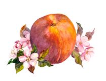 Peach fruit, blossom flowers. Watercolor Royalty Free Stock Images