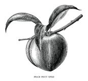 Peach fruit branch vintage engraving illustration isolated on white background stock illustration