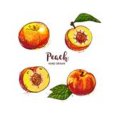 Peach fruit drawing, ripe peach fruit cut in half with bone. Watercolor peaches on a white background. Vector. Isolated illustration vector illustration