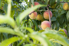 Peach fruit in the garden Stock Image
