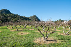 Peach Fruit Orchard Stock Photography