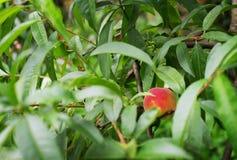 Peach fruit tree closeup detail leaf Stock Photos