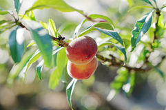 Peach fruits growing on a peach tree branch Stock Image