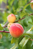 Peach fruits growing on peach tree branch. Stock Photo