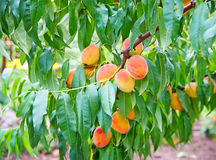 Peach fruits growing on a peach tree branch. Sweet peach fruits growing on a peach tree branch Royalty Free Stock Photo