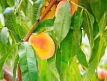 Peach fruits growing on a peach tree branch. Sweet peach fruits growing on a peach tree branch Stock Photos