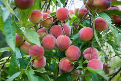Peach fruits ripening on the tree Stock Photography