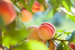 Peach fruits. Sweet peach fruits growing on a peach tree branch stock photography