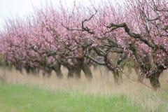 Peach garden Royalty Free Stock Photos
