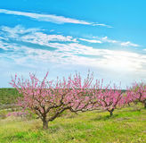 Peach garden Stock Photography