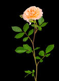 Peach garden rose on black Royalty Free Stock Photos