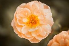 Peach Garden Rose Stock Images