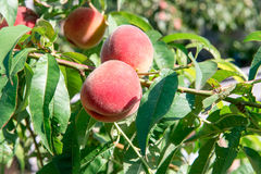 Peach garden. Summer garden fruits. Ripe peaches on the tree. The harvest of peaches. Red peaches in the garden on a sunny day. Br Royalty Free Stock Photography