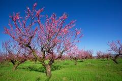 Peach garden Royalty Free Stock Photography