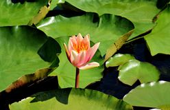 Peach glow water lily with green leaves swimming in a pond Royalty Free Stock Photos