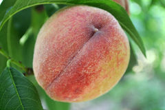 Peach on a green background. Sweet peach growing from a tree branch Stock Photos