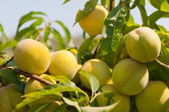 Peach growing on the peach tree Royalty Free Stock Images