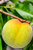 Peach growing on the tree. Green peach ripening on the tree Royalty Free Stock Photos