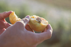 Peach in hand Stock Photography