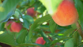 Peach hanging on a tree branch stock footage