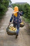 Peach Harvesting II Royalty Free Stock Photo