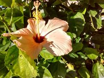 Peach Hibiscus Royalty Free Stock Photo