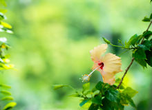 Peach Hibiscus flower head on green blurred background Stock Image