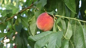 Peach. Image was shot in bulgaria jambol stock video