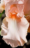 Peach Iris Royalty Free Stock Image