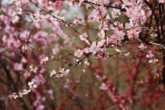 peach kwiat Obraz Stock