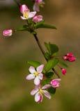 peach kwiat Zdjęcia Stock