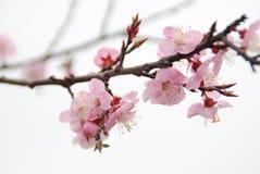 peach kwiat Obrazy Royalty Free