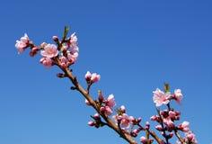 peach kwiat obrazy stock