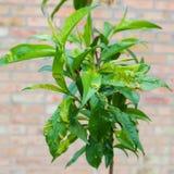 Peach leaf curl,taphrina deformans royalty free stock photos
