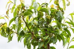 Peach leaf curl,taphrina deformans. Branch of peach with leaf curl Taphrina deformans disease closeup Stock Photo