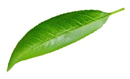 Peach leaf isolated. On white background. Peach leaf Clipping Path royalty free stock photography