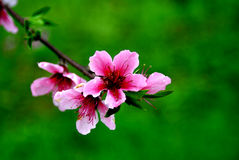 Free Peach March Royalty Free Stock Image - 4750046
