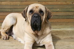Peach Mastiff Stock Photos