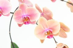 Peach Moth orchids close up Royalty Free Stock Image