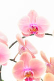 Peach Moth orchids close up Stock Images