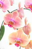 Peach Moth orchids close up Stock Photo
