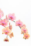 Peach Moth orchids close up Royalty Free Stock Photo