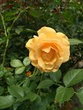 Peach orange yellow rose. Flower Royalty Free Stock Photography