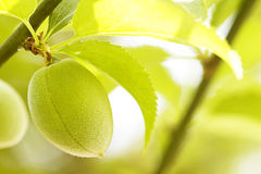 Peach orchard Royalty Free Stock Photography