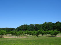 Peach Orchard. With treeline behind Stock Image