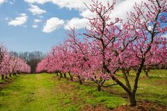 Peach Orchard in Bloom Stock Photography
