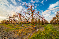 Peach orchard Royalty Free Stock Photos