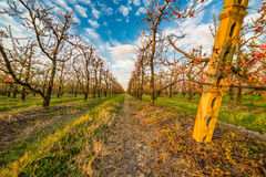 Peach orchard Royalty Free Stock Image