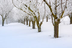 Peach orchard covered with snow Stock Photo